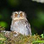 Long-Whiskered Owlet
